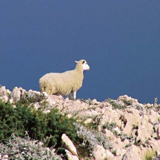 island-of-pag-sheep