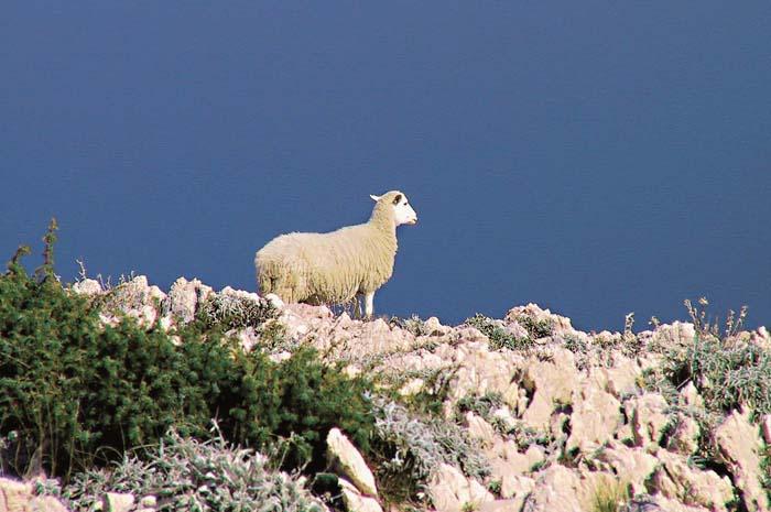 island-of-pag-sheep